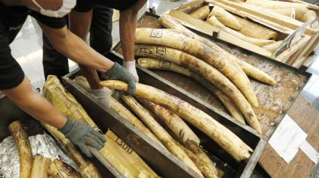 Mitarbeiter des thailändischen Zolls präsentieren beschlagnahmtes Elfenbein.