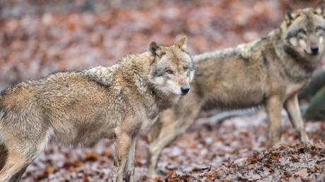 Die Sichtungen von Wölfen in Bayern häufen sich. Mittlerweile leben an fünf Orten auch standorttreue Tiere - also Wölfe, die sich in einem Territorium eingerichtet haben.