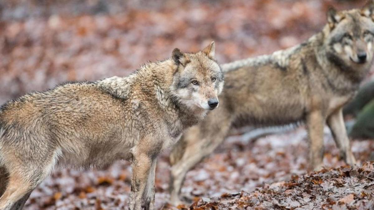 Wölfe in Bayern: Experten fordern Miteinander von Mensch und Tier