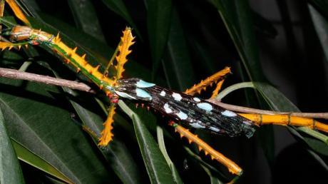 Anders als die meisten Stabschrecken tarnen sich die Männchen der neuen Arten namens Achrioptera manga und Achrioptera maroloko nicht als unscheinbare Äste.