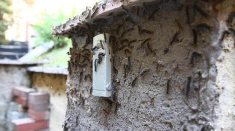Schwammspinner-Raupen haben eine Hausfassade in gera befallen.