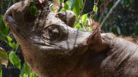 Sumatra-Nashörner sind vom Aussterben bedroht. Mit künstlicher Befruchtung will Malaysia das Überleben der Gattung sichern.