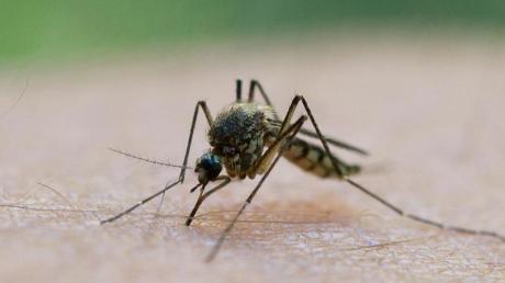 Mücken, die gefährliche Virusinfektionen übertragen können, breiten sich vermehrt in Europa aus. Ein Arztvortrag in Stadtbergen beschäftigt sich mit unliebsamen Urlaubsmitbringseln.