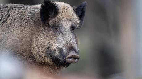Bei einem Wildschwein, das im polnischen Kreis Wschowski bei einem Wildunfall starb, wurde Schweinepest festgestellt. Foto: Lino Mirgeler/dpa