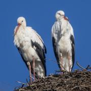 Störche sitzen schon Anfang Februar in ihrem Nest auf einem Strommast.