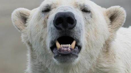 Normalerweise jagen Eisbären Robben. In den letzten Jahren wurde aber auch vermehrt Kannibalismus beobachtet.