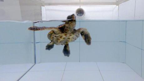 Eine Meeresschildkröte bei einem Geruchsexperiment.