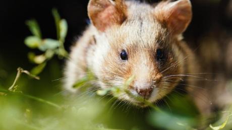 Der vom Elsass bis nach Sibirien einst millionenfach verbreitete Feldhamster ist jetzt offiziell in seinem gesamten Verbreitungsgebiet vom Aussterben bedroht.