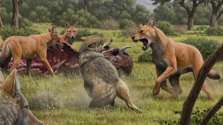 Die Illustration zeigt ein Rudel Canis dirus, die ihre Bisonbeute fressen, während sich zwei graue Wölfe (Canis lupus) nähern.