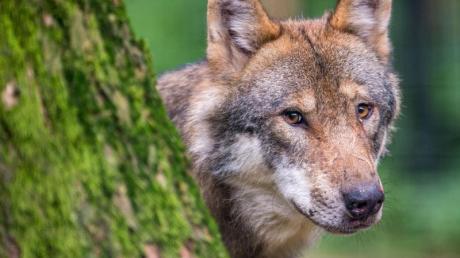 Ein Wolf schaut hinter einem Baum in einem Wildpark in Bayern hervor.